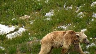 Karantina günlerinde ayılar şehre indi!