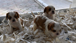 Sokağa çıkma yasaklarından sonra köpek satışları arttı