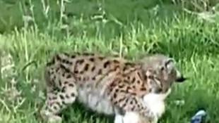 Yer: Tunceli... Vaşak, yakaladığı kediyi böyle götürdü