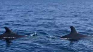Türkiye'de ''yalancı katil balina'' heyecanı! İlk kez görüntülendiler