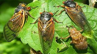 Önce koronavirüs, ardından dev eşek arıları şimdi de...