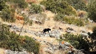 Bodrum'da jaguar sanılan hayvanın sırrı çözüldü