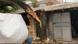 Aşırı fırtına ve yağış 50 yıllık ağacı böyle devirdi