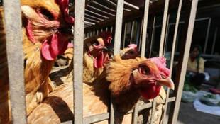 Komşuda yeni virüs salgını! H5N8 virüsü hızla yayılıyor