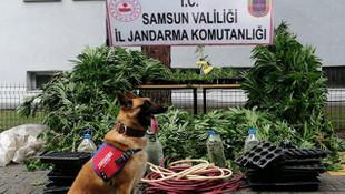 Samsun'da operasyon: 2 bin 600 kök kenevir bitkisi ele geçirildi