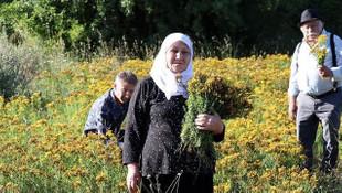 Altın sarısı çiçekleriyle büyüleyen kantaron hasat edildi