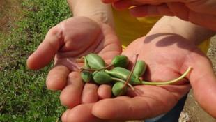 Değersiz diye araziden söktükleri kapari bitkisinin kilosu 2.5 Euro!