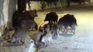Türkiye'nin turizm cennetinde domuz istilası