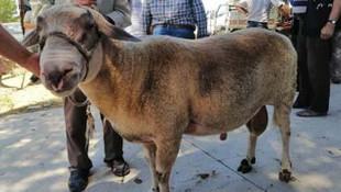150 kiloluk koç, görenleri hayrete düşürdü