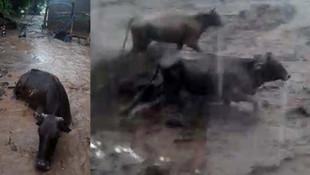 Muş'ta sel suları 50 hayvanı yuttu!