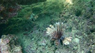 Antalya'da dünyanın en zehirli balığı görüntülendi