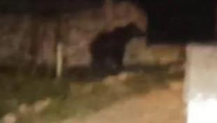 Sivas'ta bir köyde ayı paniği