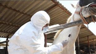 Adıyaman'daki atlar koronavirüse karşı antikor üretti