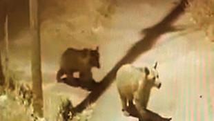 Sivas'ta ayılar köye indi!