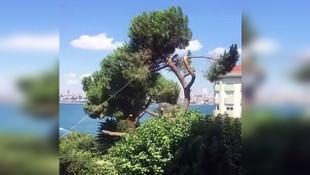 Boğaz'daki tarihi ağacın kesilmesi tepki çekti