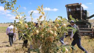 Kayseri Talas'ta nohut hasadı başladı