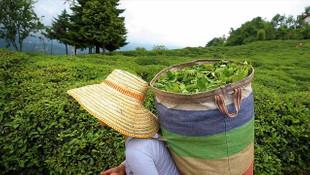 ÇAYKUR, 270 bin ton yaş çay alımı yaptı