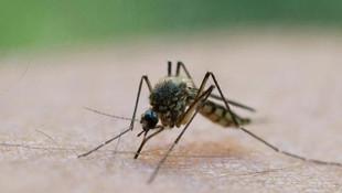 Genetiği değiştirilmiş 750 milyon sivrisinek doğaya salınıyor