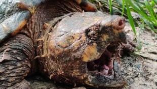 Dünyanın en büyük timsah kapan kaplumbağası ABD'de yakalandı