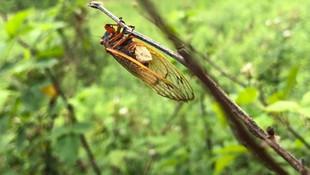 Zihinleri kontrol ediliyor! Tehlikenin adı: Zombi böcek!