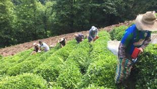 Çay cenneti Türkiye, çay üreticisini küstürmeyi başardılar!