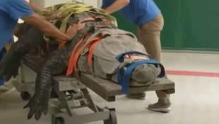 Dev timsahın tedavi görüntüleri izlenme rekorları kırdı