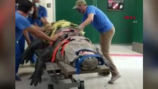 Dev timsahın tedavi görüntüleri rekor kırdı