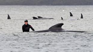 Avustralya'da kıyıya vuran balinalar: 70'i kurtarıldı, 380'i öldü
