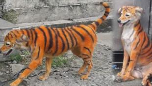 Malezya'da skandal görüntü! Köpeği kimyasal boya ile kaplan rengine boyadı