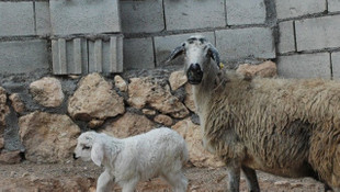 Diyarbakır'da 6 ayaklı doğan kuzu görenleri şaşırtıyor