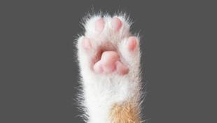 Çinliler bu sefer orman kedisi klonladı