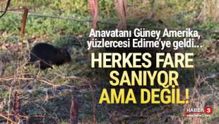 Yüzlerce su maymunu Edirne'ye geldi