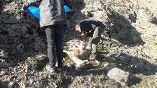 8 yaban keçisi ölü bulundu