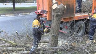 İstanbul'da teke böceği istilası: 2 ayda 180 ağaç kesildi