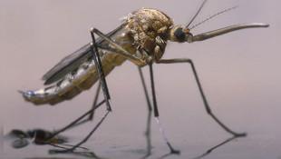 Kuraklık, sivrisinek popülasyonunu artırdı