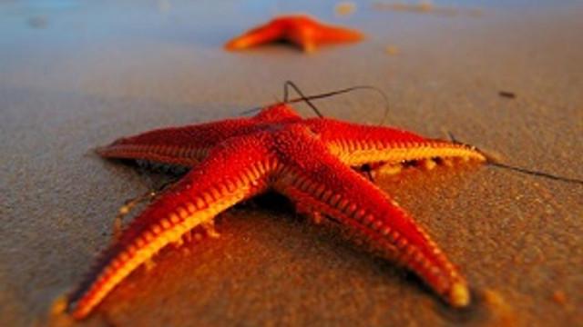 Gençliğin sırrı denizyıldızında saklı olabilir