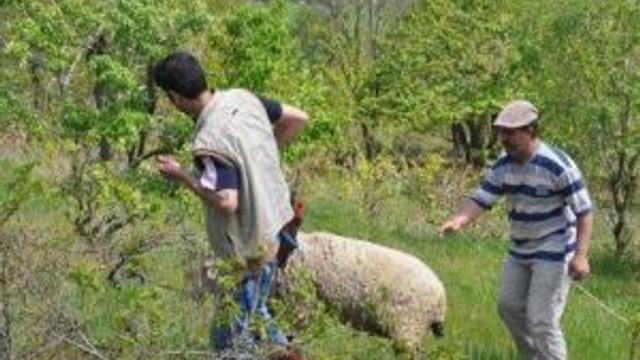 Tören Alanından Kaçan Koyun Güçlükle Yakalandı