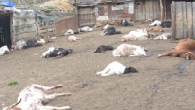 Babası ile tartışınca 239 keçiyi tek tek kesti !
