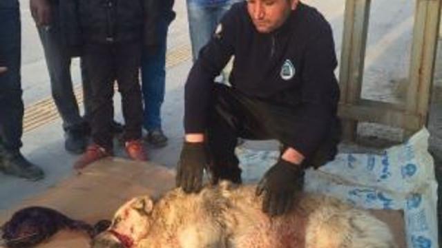 Minibüsün Çarptığı Köpek Tedavi Altına Alındı