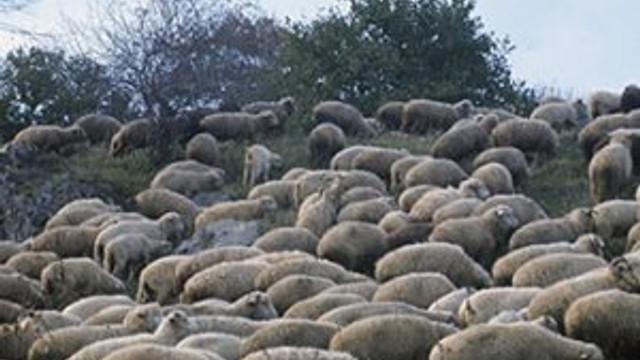 Esrar yiyen koyunlar ortalığı karıştırdı
