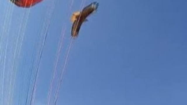 Yamaç paraşütçüsüne kartal saldırırsa...