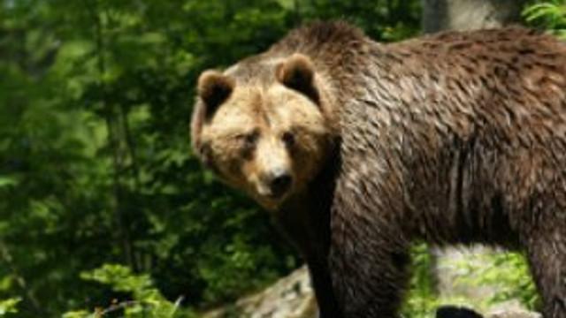 Kadın doğururken ayılar saldırdı !