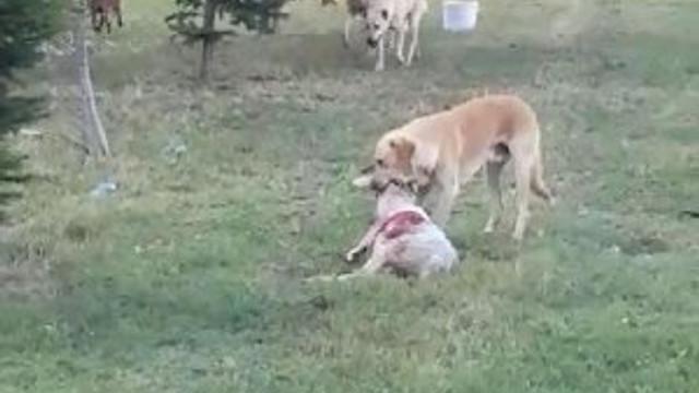 Köpekler koyun sürüsüne saldırdı