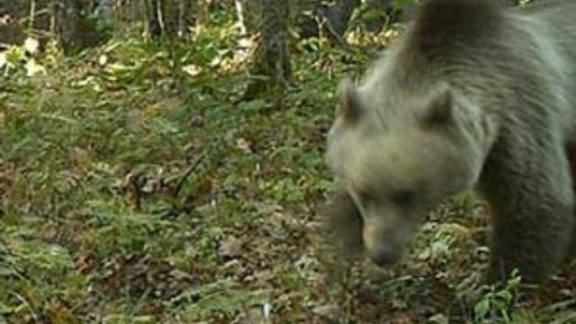 Mantar toplarken ayı saldırdı !
