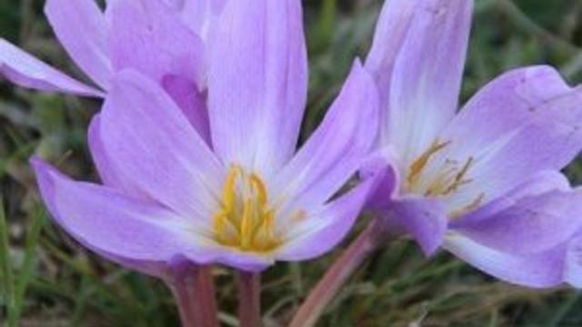 Kış mevsimini müjdeleyen Kar çiçekleri açtı