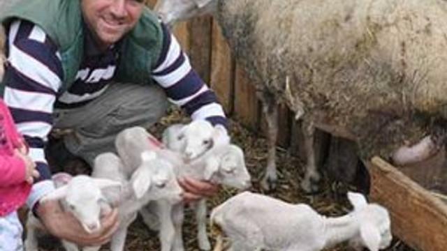 Merinos cinsi koyun beşiz doğurdu