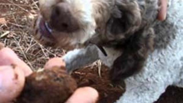 Köpekler buldu ! Kilosu 3.500 eurodan satılıyor