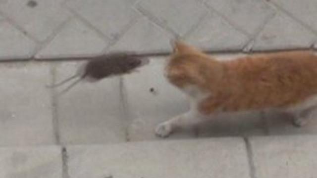 Kediye kafa tutan fare