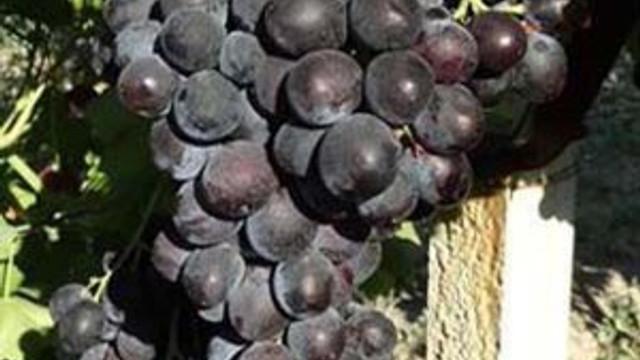 5 yeni üzüm çeşidinin ismini halk belirledi