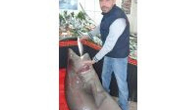 Çanakkalede 4 Metrelik Köpek Balığı Yakalandı